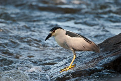 Great Blue Heron. Fishing on boulders along the River Royalty Free Stock Photos