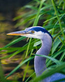 Great Blue Heron. This is an image of a Great Blue Heron surrounded by reeds stalking its prey in a marshy stream Royalty Free Stock Photo