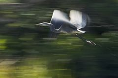 Great Blue Heron. Panning shot of blue heron in flight taken with a slow shutter speed. Blurr effect is intentional Stock Images