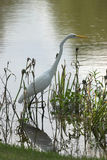 Great blue heron. Ardea herodias, white phase stock images