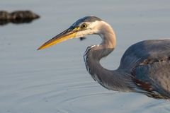 Great Blue Heron close up ready for a dive stock image