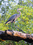 Great blue heron Stock Images