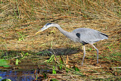 Great Blue Heron - 13 Royalty Free Stock Photo