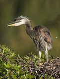 Great Blue Heron royalty free stock photography