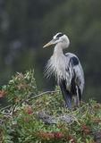 Great Blue Heron Royalty Free Stock Image