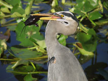 Great Blue Heron. Catches a catfish - Florida Everglades Royalty Free Stock Photography