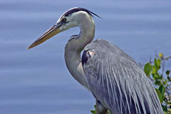 Free Great Blue Heron Stock Photography - 1406232