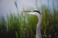 Great Blue Heron. From the Florida Everglades stock photo