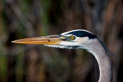 Great Blue Heron. From the Florida Everglades royalty free stock photo