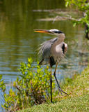 Great Blue Heron. Bird on grass with lake or river in background Royalty Free Stock Image