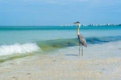Great Blue Heron Royalty Free Stock Image