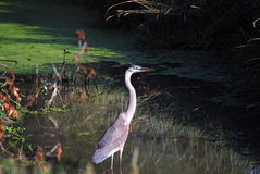 Great Blue Heron. Standing in a pond stock image