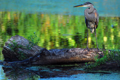 Great Blue Heron. Stands on a log at the edge of a pond stock image