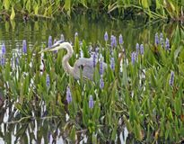 Free Great Blue Heron Stock Photos - 1680243