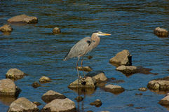 Great Blue Heron. A Great Blue Heron stands on a rock in the shallows near Franklin Lock, Caloosahatchee River, Fort Myers FL stock photography
