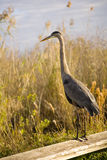 Great Blue Heron. On the Anhinga Trail royalty free stock photography