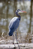 Great blue heron. Stock Images