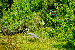 Great Blue Heron in marsh. A Great Blue Heron in marshland with a No Swimming sign behind Royalty Free Stock Images