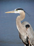 Great Blue Heron. Wading in the water in the Gulf of Mexico stock image