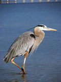 Great Blue Heron. Wading in the water in the Gulf of Mexico royalty free stock photo