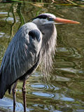 Great blue heron. This is a great blue heron. I photographed him at boyd hill nature preserve n st.petersburg florida royalty free stock photos