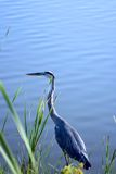Great Blue Heron 2. Great Blue Heron by the water Royalty Free Stock Photos
