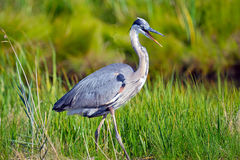 Free Great Blue Heron Royalty Free Stock Photography - 20381527