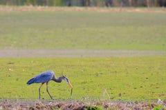 Great Blue Heron. Eating a snake Stock Photos