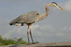 Great blue heron Stock Photography