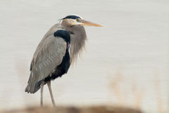Free Great Blue Heron Stock Image - 23019831