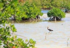 Great Blue Heron. (Ardea herodias Royalty Free Stock Images