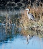 Great Blue Heron. A Great Blue Heron keeps watch in a Myrtle Beach marshland Royalty Free Stock Photography