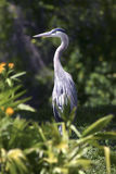 Great Blue Heron. After preening surrounded by greenery and yellow flowers Royalty Free Stock Photo