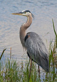 Great Blue Heron. In breeding plumage stands at the water's edge Royalty Free Stock Image