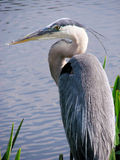 Great Blue Heron. Close up of a Great Blue Heron in his natural habitat. background is rippled water and tall blades of grass stock photos