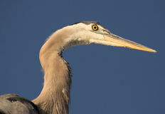Great Blue Heron. Close up view of great blue heron with deep blue sky in background Stock Images