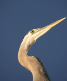 Great Blue Heron. Close up view of great blue heron with deep blue sky in background Royalty Free Stock Photos