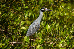 Great Blue Heron. A great blue heron in a grove of trees Royalty Free Stock Photography