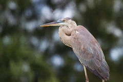 Great Blue Heron. Standing on dock, hunting. The image shows the bird from the knees up, with clear focus on the eyes. The image shows the intricate color royalty free stock image