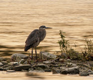 Great Blue Heron Royalty Free Stock Photo