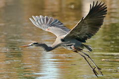 Free Great Blue Heron Royalty Free Stock Image - 28380856