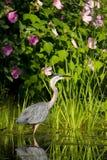 Great Blue Heron 3 Stock Photos