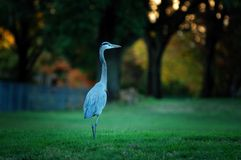 Great Blue Heron. A Great Blue Heron in my courtyard Royalty Free Stock Photos