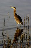 Great Blue Heron. Standing in the shallows Stock Image