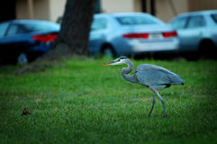 Great Blue Heron. A Great Blue Heron in my courtyard Stock Photo