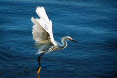 Great Blue Heron. A Great Blue Heron taking off from the water Royalty Free Stock Images