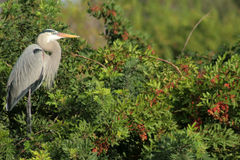 Great Blue Heron. At Venice Rookery in Venice, FL royalty free stock photos