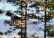 Great Blue Heron. Fly by of a great blue heron into the setting sun Royalty Free Stock Photos