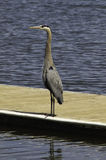 Great Blue Heron. A Great Blue Heron standing on a dock Royalty Free Stock Images