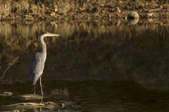 Free Great Blue Heron Stock Images - 39228364